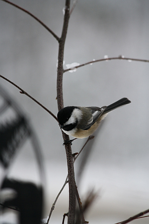 black capped chickadee, robin follette, robins outdoors, maine state bird