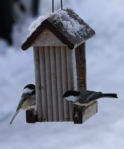 Black capped chickadees on a feeder, Robin Follette, Robin's Outdoors