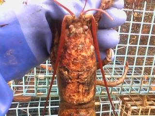 Maine lobster with severe shell disease.