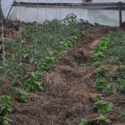 What of the intelligent use of mulch to protect produce?