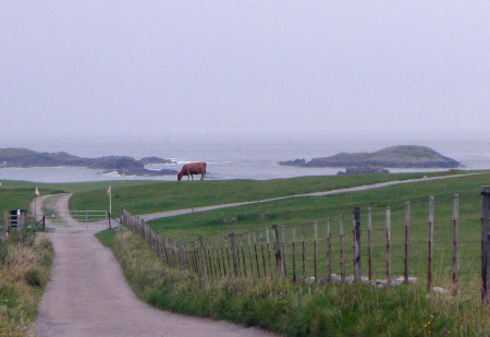 Cow on Iona.