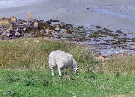 Sheep and sand. Perfect world.
