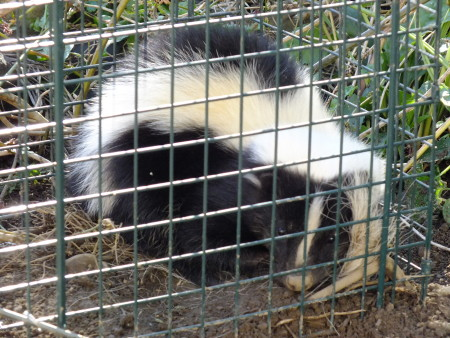 A cute little skunk, caught in a big live trap.  If you don't have chickens, or nosy dogs, skunks in your yard aren't really a bad thing.  In fact, that are one of your best all natural defenses against Japanese beetle grubs!