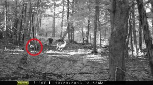 The first photo showing what seems to be a predator chasing a deer. But why is there a second deer lying behind a tree, seemingly not bothered by the presence of an animal that my try to eat him? (Photo courtesy of Gordon Karlgren)