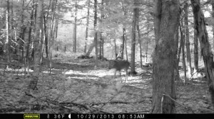 "In the second trail camera photo, the deer that had been lying behind a tree has stood up and is facing away from the camera. The deer on the right? We think that's the ""predator"" from the first photo, which has successfully chased the small buck out of the frame. (Photo courtesy of Gordon Karlgren)"