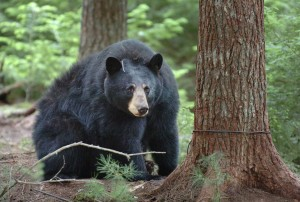 After being trapped by Department of Inland Fisheries and Wildlife biologists, a 246-pound female black bear looks toward human visitors in 2010 in Township 36. (BDN photo by Bridget Brown)