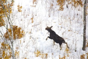 A moose stands in an open area of Maine's Wildlife Management District 19. Lee Kantar, a wildlife biologist for the Maine Department of inland fish and wildlife, performed a moose survey by helicopter in 2013. (BDN photo by Brian Feulner)