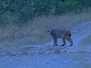 The lynx stands in the road, just minutes before the beaver joins it for a photo op. (Photo courtesy of Brian Donaghy)