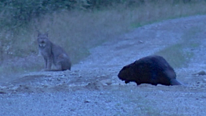 A Canada lynx and a beaver check each other out in the Allagash last fall. (Photo courtesy of Brian Donaghy)