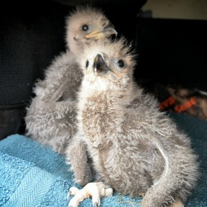 Two baby bald eagles that were rescued from their nest high up in a 90-foot white pine tree on Kenduskeag Avenue in Bangor on Monday after their mother fell ill and their father died. Linda Coan O'Kresik | BDN