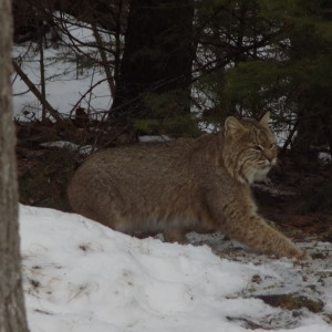What do you think? Bobcat or lynx? (Andy Koziol photo)