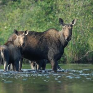 Fewer moose permits will likely be available to hunters this year. (BDN file photo)