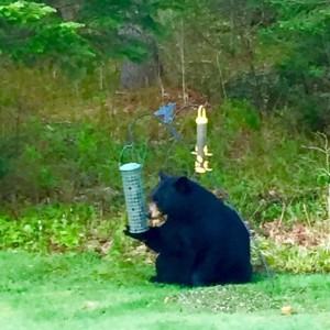 Bear at the feeder. (Jim Thorne photo)