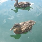 Photo by Aislinn Sarnacki. Two ducks cool off in the ocean water off the coast of Bar Harbor in the summer of 2010. They want a bit of Aislinn Sarnacki's Clif Bar.