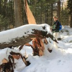 Derek Runnells looks at two fallen trees that obstruct the trail on Jan. 10, 2013. It appears that one big tree took down the other.
