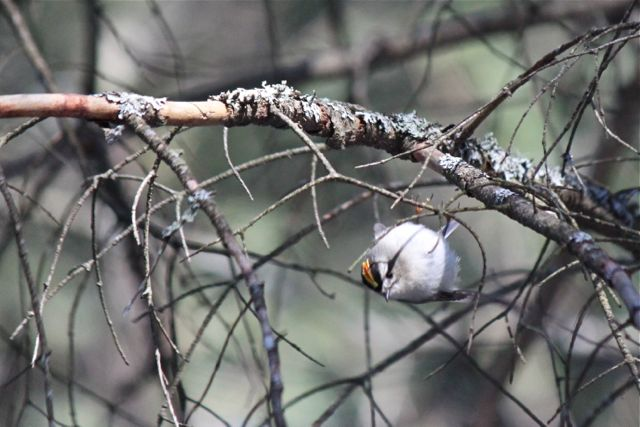 BDN photo by Aislinn Sarnacki  A golden-crowned kinglet flits about the trees in the forest on Jan. 27, 2013.