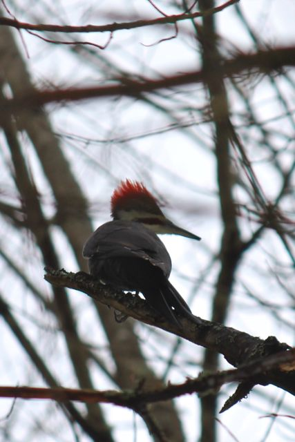 pileated10