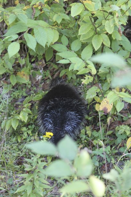"A porcupine I took a photo of in September of 2013. We never saw ""Oreo's porcupine."""