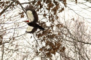 The pileated woodpecker takes flight.