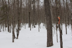 The forest changes to deciduous trees near Spencer Meadow. Follow the orange flagging tape.