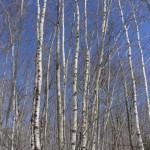 Birch, birch and more birch.