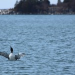 BDN photo by Aislinn Sarnacki. A common loon stretches its wings near Stonington on March 29, 2014.