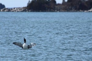 BDN photo by Aislinn Sarnacki A common loon stretches its wings near Stonington on March 29, 2014.