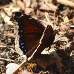 BDN photo by Aislinn Sarnacki. A mourning cloak butterfly lands on a forest floor in Albion in April 2014.