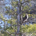 BDN photo by Aislinn Sarnacki. A hawk (red tailed? not sure) sits in a tree by a field in Albion in April 2014.