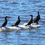 BDN photo by Aislinn Sarnacki. Double-crested cormorants gather on a piece of ice on the Penobscot River in Bangor in April 2014.