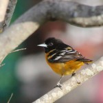 BDN photo by Aislinn Sarnacki. An oriole checking out an orange that a Monhegan resident has hung from a tree outside their home. May 2014.