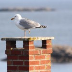 BDN photo by Aislinn Sarnacki. A one-legged gull stands atop a chimney on Monhegan Island in May 2014.
