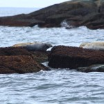 BDN photo by Aislinn Sarnacki. Seals loaf on rocks on the route from Port Clyde to Monhegan Island in May 2014.