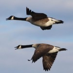 BDN photo by Aislinn Sarnacki. Canada geese flying over Monhegan in May 2014.