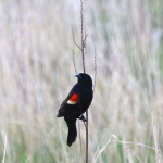 BDN photo by Aislinn Sarnacki. A red-winged black bird perching on a branch in a wetland at the center of Monhegan Island village in May 2014.