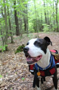 Oreo enjoying a hike in Readfield, Maine, on May 22, 2014. He has his treats in his backpack.