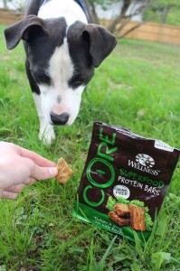 BDN photo by Aislinn Sarnacki. Oreo having a fun time with a photo shoot for this blog in May 2014. He does seem to like the Wellness CORE doggy protein bars quite a bit.