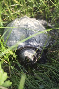 snappingturtle061214-3