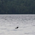 Loon that is too far away for a decent photo..