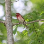 A purple finch!