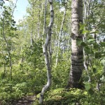 Twisty birch.