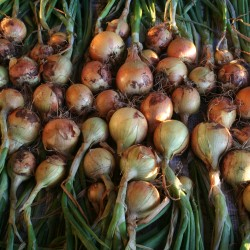 Copra onions curing in the sun before hanging them in storage.