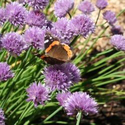 A red admiral butterfly sips nectar from the blossoms of chives.