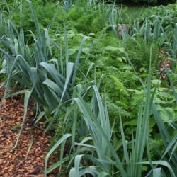 With their dark blue-green foliage, leeks stand out in the edible landscape.  Here they are used to edge a bed in the vegetable garden.