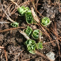 Emerging leaves of Sedum x 'Autumn Joy'.