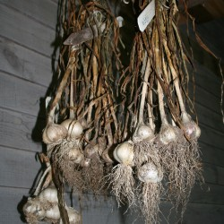 The garlic harvest curing on the porch.