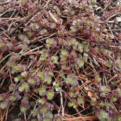 Sedum 'Dragon's Blood' covers the early spring ground with leaves of green and red.