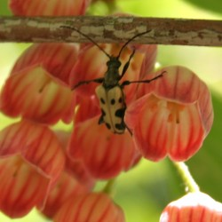 Flower long-horned beetles are pollen feeders often seed crawling across the surface of blossoms.