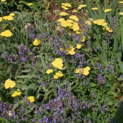 Lemon-yellow Yarrow and lavender-blue catmint are a classic combination of summer perennials.