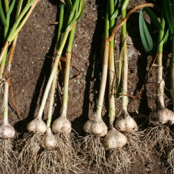 Four varieties of garlic bulbs, just lifted and rubbed free of loose soil.